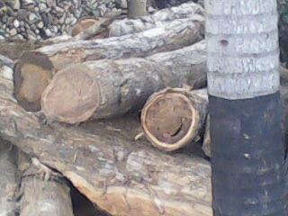 Tumpukan kayu di Rujab bupati 1
