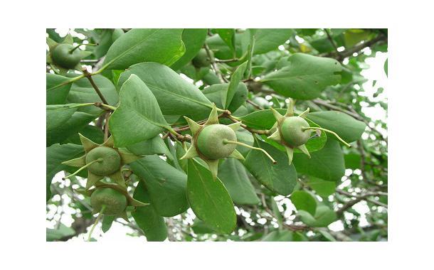 buah-mangrove